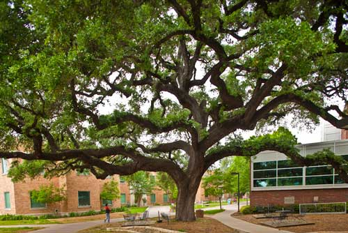 The MIghty Oak (outside the library)